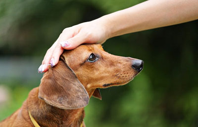 Hand patting the head of a brown dog.